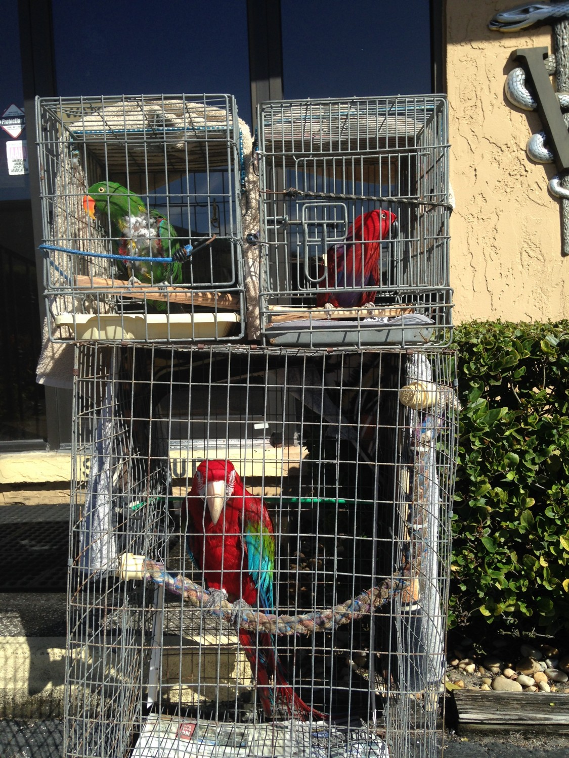 Grooming time for Esmerelda and Pickles the Gran Eclectis and Mugzie below is a Scarlet Macaw